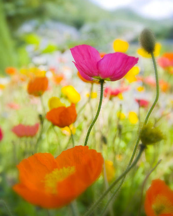 Flower Poster featuring the photograph Iceland Poppies by Silke Magino