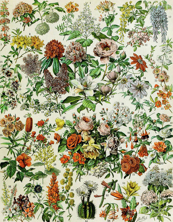 Floral Poster featuring the drawing Illustration Of Flowering Plants by Adolphe Philippe Millot