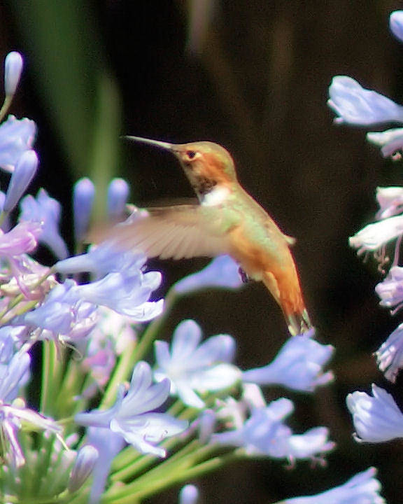Hummingbird Poster featuring the photograph In Flight by Ellen Lerner ODonnell