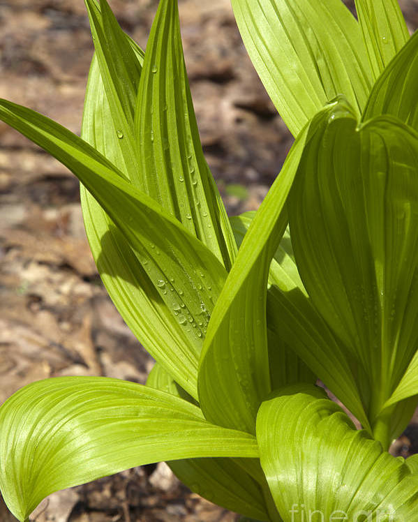 Scenic Poster featuring the photograph Indian Poke -veratrum Veride- by Erin Paul Donovan