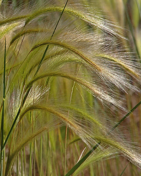 Grass Poster featuring the photograph Indiangrass Swaying Softly With The Wind by Christine Till