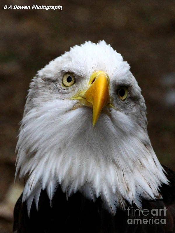 American Bald Eagle Poster featuring the photograph Inquisitive Eagle by Barbara Bowen