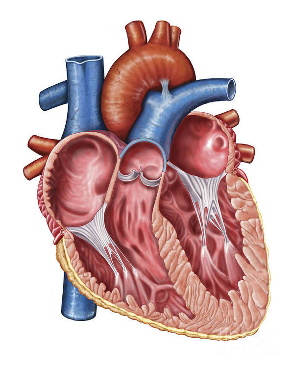 Healthcare Poster featuring the digital art Interior Of Human Heart by Stocktrek Images