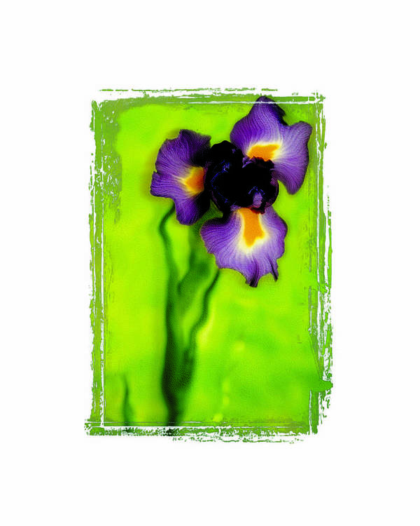 Iris Poster featuring the photograph Iris by K Randall Wilcox