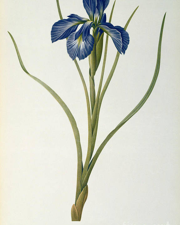 Iris Poster featuring the painting Iris Xyphioides by Pierre Joseph Redoute