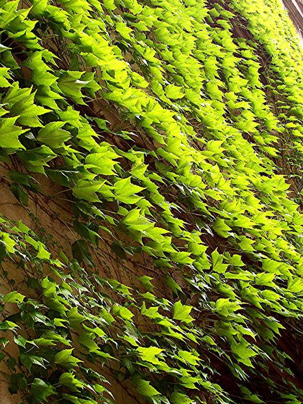 Nature Poster featuring the photograph Ivy League-ivy Lines by Caroline Urbania Naeem