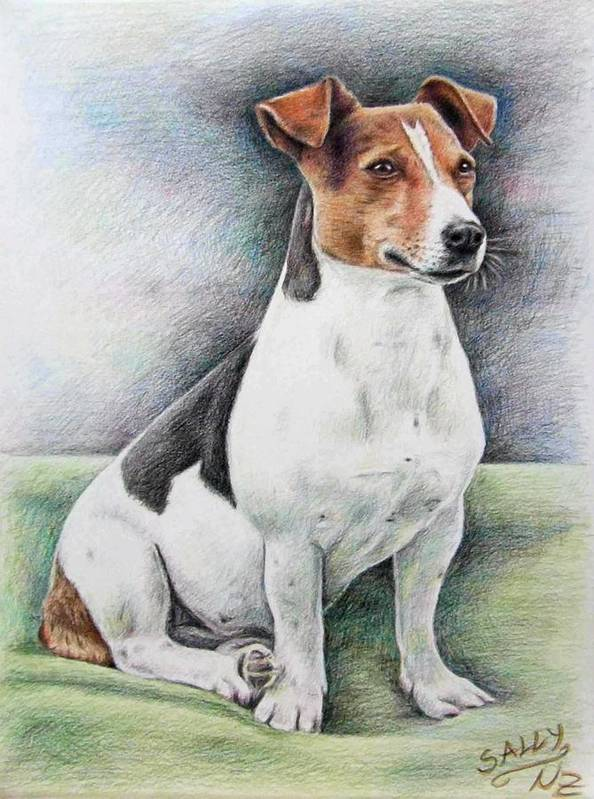 Dog Poster featuring the drawing Jack Russell Terrier by Nicole Zeug