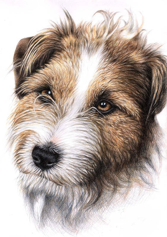 Dog Poster featuring the drawing Jack Russell Terrier Portrait by Nicole Zeug