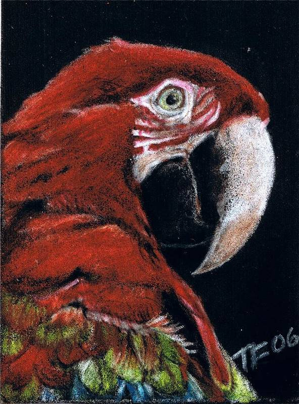 Parrot Poster featuring the drawing Jake by Terri Kilpatrick