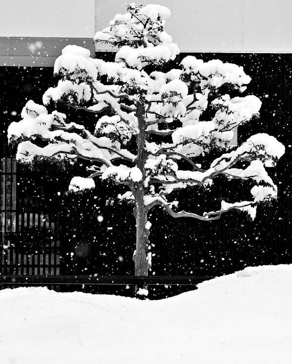 Winter Poster featuring the photograph Japanese Tree In The Snow by Dean Harte