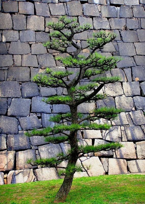 Japan Poster featuring the photograph Japanese Tree by Roberto Alamino