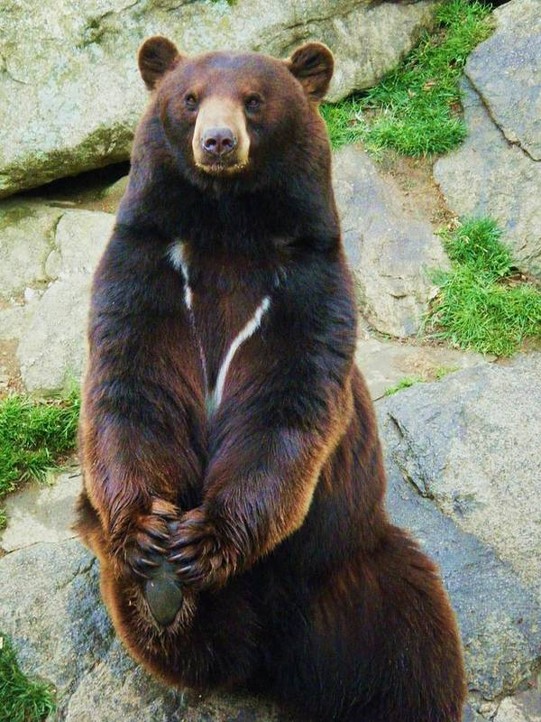 Kodiak Bear Poster featuring the photograph Just Chillin by Scarlett Royal
