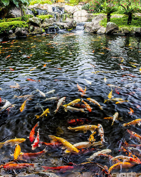 Lake Poster featuring the photograph Kauai Koi Pond by Darcy Michaelchuk
