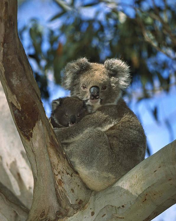 Mp Poster featuring the photograph Koala Phascolarctos Cinereus Mother by Konrad Wothe