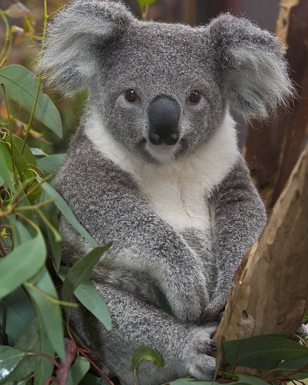 00446165 Poster featuring the photograph Koala Phascolarctos Cinereus by Zssd