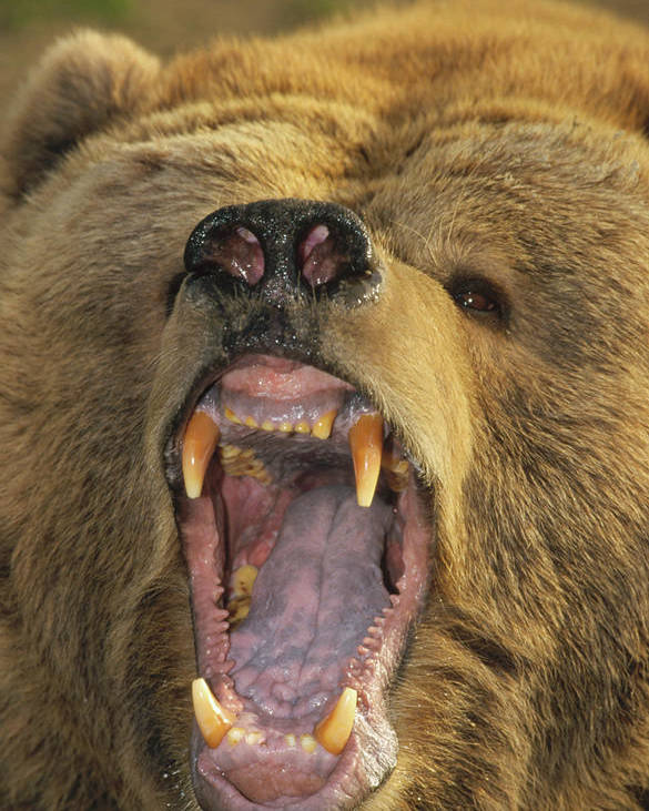 Mp Poster featuring the photograph Kodiak Bear Ursus Arctos Middendorffi by Matthias Breiter