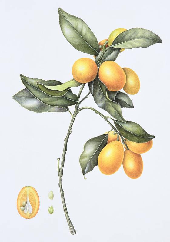 Kumquats; Fruit; Citrus; Branch; Half; Halved; Cross Section; Botanical; Still Life; Seed; Seeds; Kumquat Poster featuring the painting Kumquat by Margaret Ann Eden