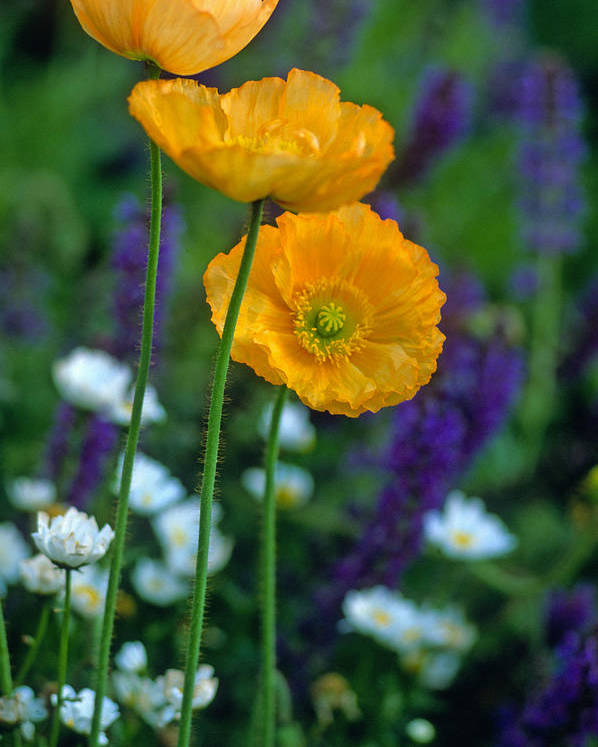 Flowers Poster featuring the photograph La Playa Poppies by Kathy Yates