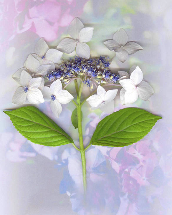Lacecap Hydrangea Poster featuring the mixed media Lacecap Hydrangea by Sandi F Hutchins
