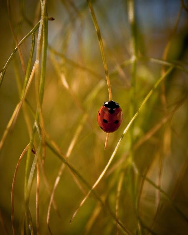 Ladybug Poster featuring the photograph Ladybug by Danielle Silveira