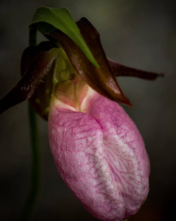 Ladyslipper Poster featuring the photograph Ladyslipper by Diane Moore
