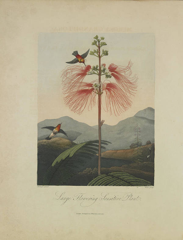 Thornton Poster featuring the drawing Large Flowering Sensitive Plant by Robert John Thornton