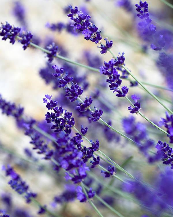 Frank Tschakert Poster featuring the photograph Lavender Blue by Frank Tschakert