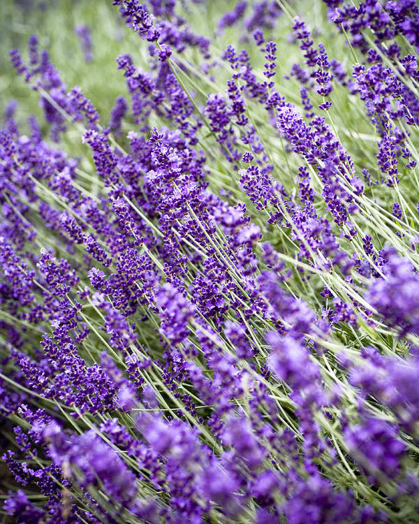 Lavender Poster featuring the photograph Lavender by Frank Tschakert