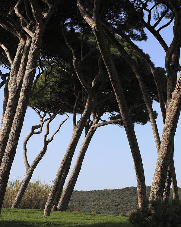 Beam Poster featuring the photograph Leaning Pine Trees by Stefania Levi