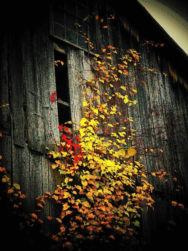 Barn Poster featuring the photograph Leaves On An Old Barn by Joyce Kimble Smith