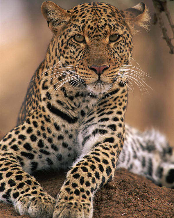 Npl Poster featuring the photograph Leopard Panthera Pardus, Masai Mara by Anup Shah