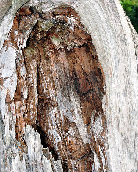Nature Poster featuring the photograph Lightning Damage In An Old Cypress Tree by Ernst Schwarz