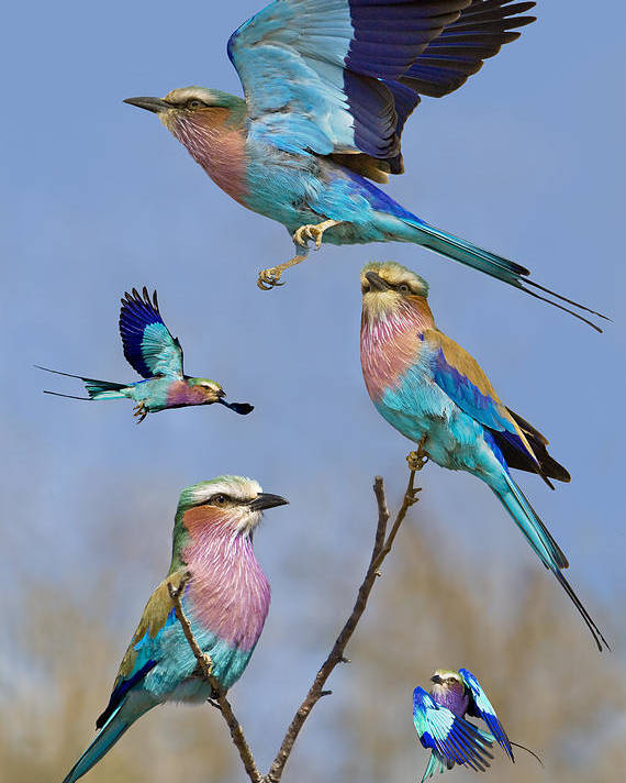 Bird Poster featuring the photograph Lilac-breasted Roller Collage by Basie Van Zyl