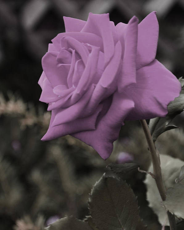 Roses Poster featuring the photograph Lilac Rose by Vijay Sharon Govender