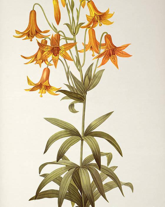 Lilium Penduliflorum Poster featuring the painting Lilium Penduliflorum by Pierre Joseph Redoute