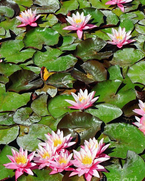 Flower Poster featuring the photograph Lilly Pads In Bloom by Dennis Hammer