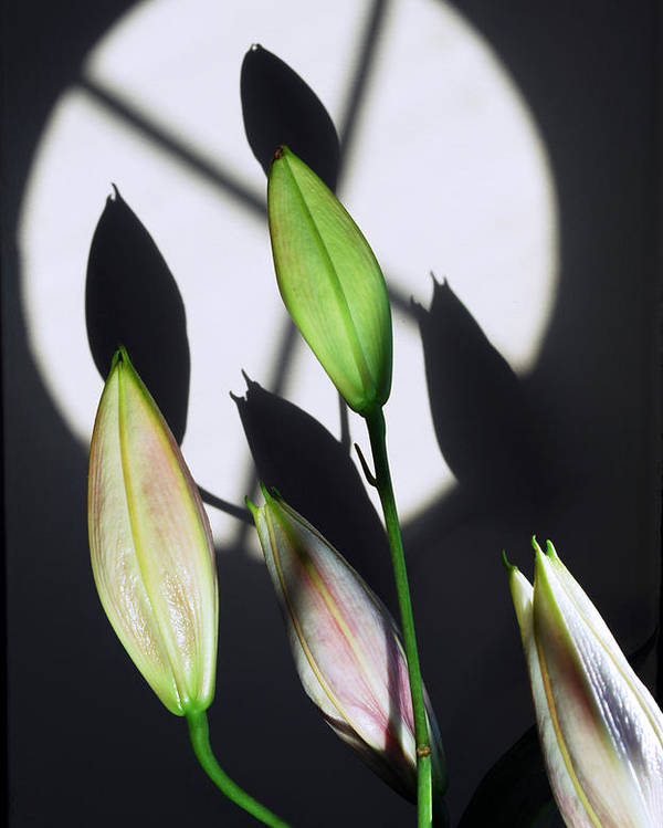 Lily Poster featuring the photograph Lily Buds In The Spotlight. by Terence Davis