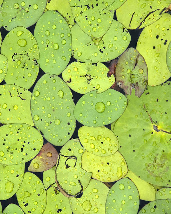 Lily Pads Poster featuring the photograph Lily Pads by Jessica Wakefield