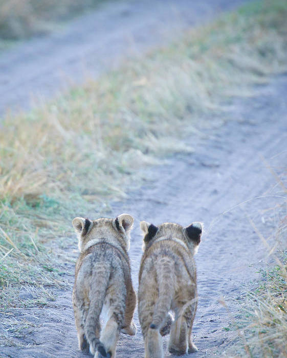 Vertical Poster featuring the photograph Lion Cubs Walking Together In Masai Mara by Mehmed Zelkovic
