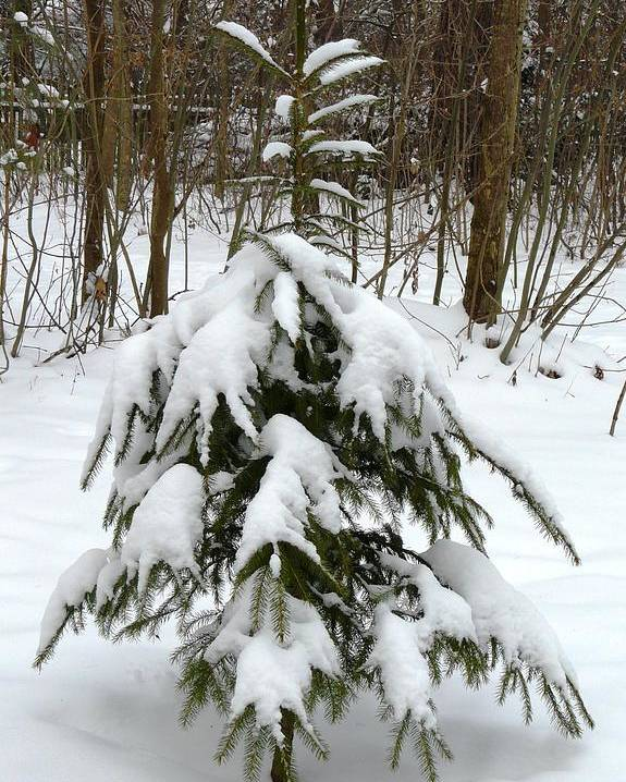 Christmas Poster featuring the photograph Little Christmas Tree by Valerie Ornstein