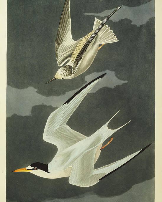 Lesser Tern. Lesser Tern. Little Tern (sterna Albifrons) From 'the Birds Of America' (aquatint & Engraving With Hand-colouring) By John James Audubon (1785-1851) Poster featuring the drawing Little Tern by John James Audubon
