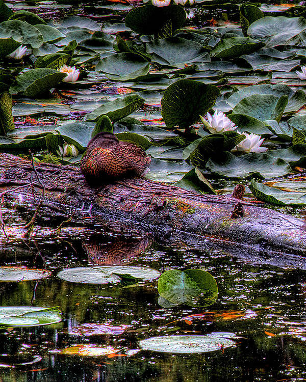 Lilly Pad Poster featuring the photograph Lone Duck by David Patterson