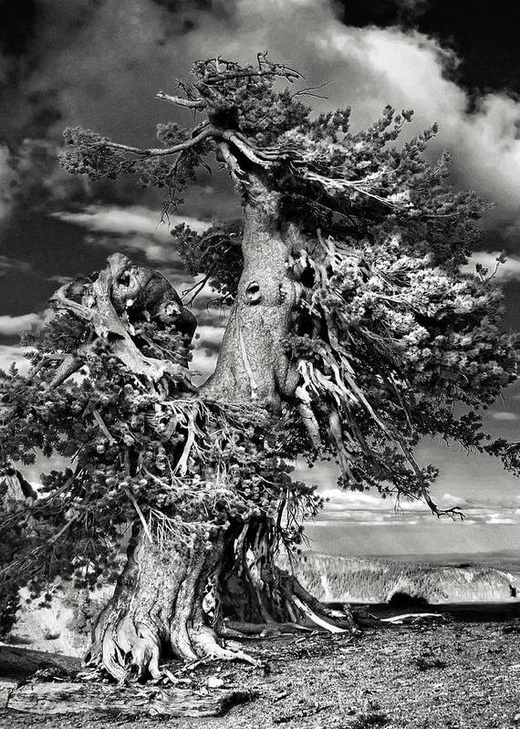 Bristlecone Pine Trees Poster featuring the photograph Lone Gnarled Old Bristlecone Pines At Crater Lake - Oregon by Christine Till