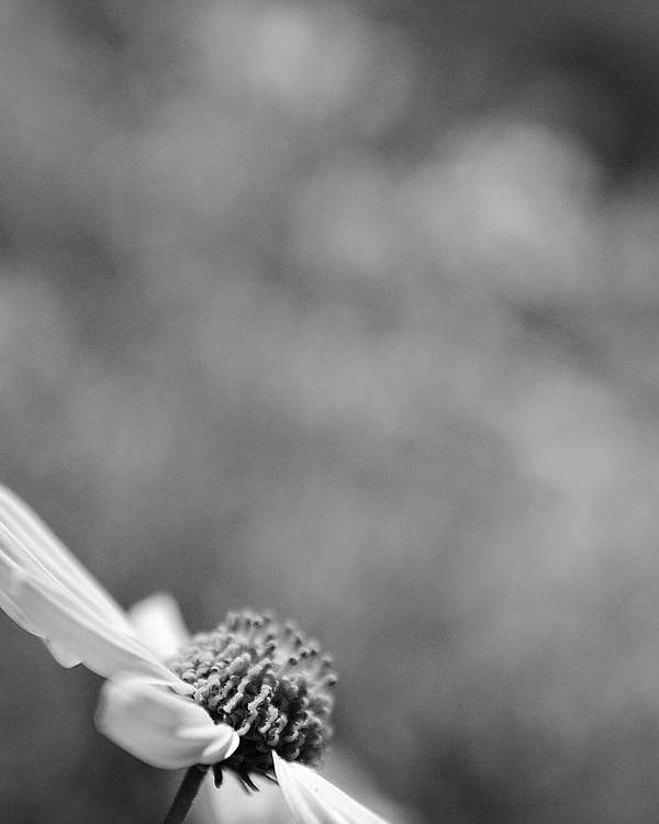 Black And White Poster featuring the photograph Lone Wildflower Black And White by Jill Reger
