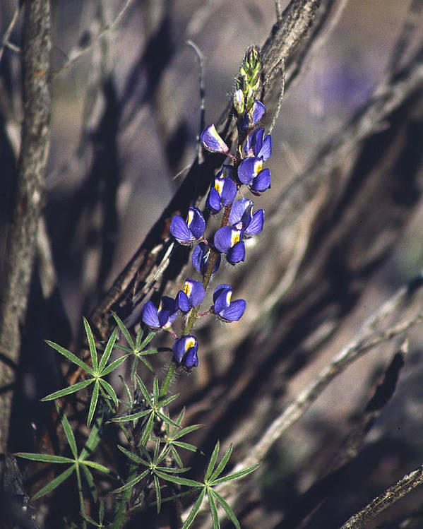 Flower Poster featuring the photograph Lonely Lupine by Randy Oberg