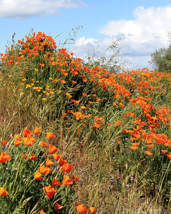 Poppies Poster featuring the photograph Look To The Sky by Gail Salitui