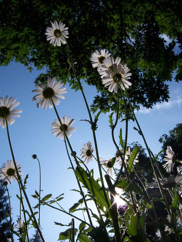 Daisy Poster featuring the photograph Looking Up by Ken Day