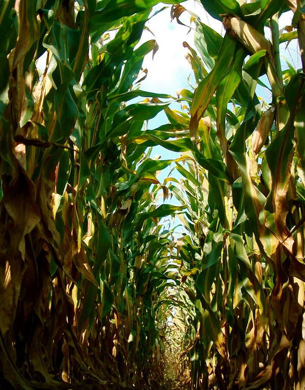 Farm Photograph Poster featuring the photograph Lost In Corn by Jamie Riddle