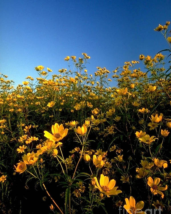 Buttercups Poster featuring the photograph Lots Of Buttercups Against A Blue Sky by Sven Brogren
