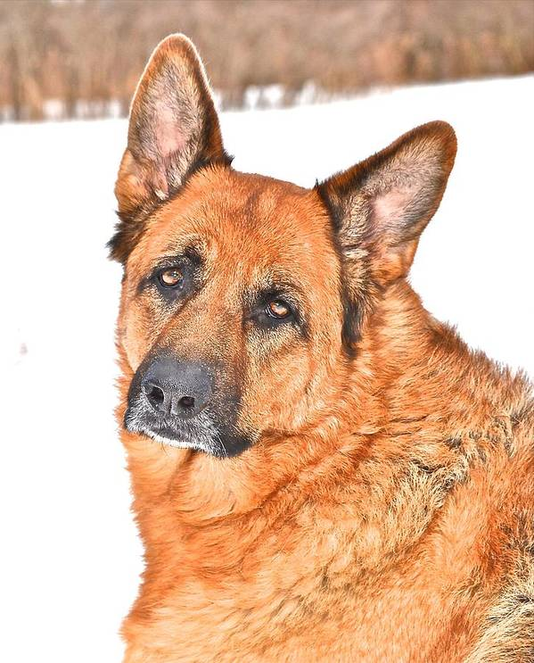 German Shepherd Dog Poster featuring the photograph Lovely Shepherd by Danielle Sigmon